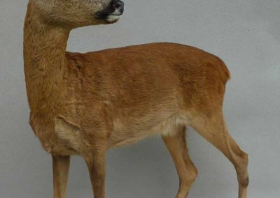 mouflon taxidermé