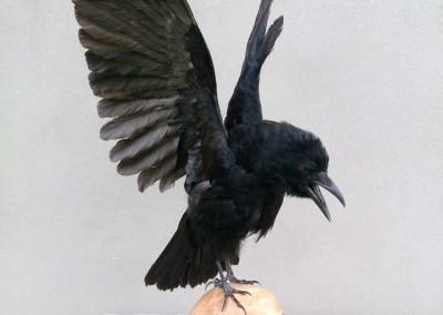 Corbeau-taxidermé-sur-crâne