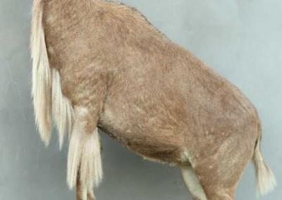 Mouflon à manchette taxidermé