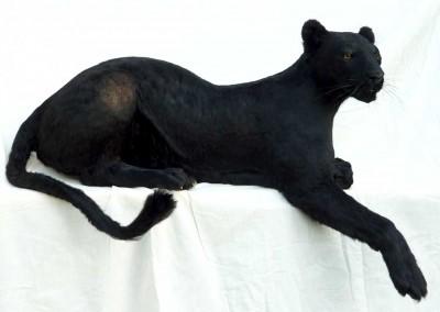Panthère noire taxidermée