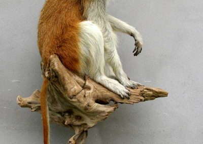 Singe-Patas-taxidermé