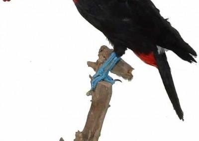 toucan taxidermé