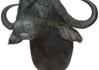 buffle_cafer cafer taxidermie