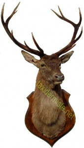 cerf 10 cors taxidermé