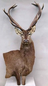cerf14 cors bas-relief taxidermie