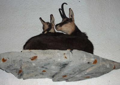 chamois-femelle-+eterlou-taxidermés - Copie
