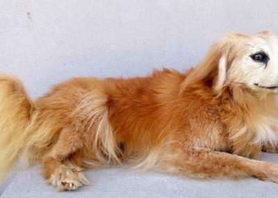 chien-roux-taxidermé