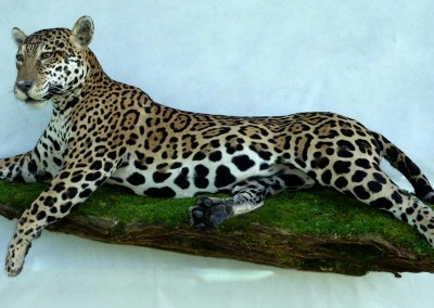 Jaguar taxidermé