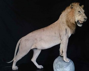 lion-Dias-Taxidermé