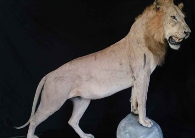 Lion-D-Taxidermé