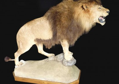 lion-d'atlas-taxidermé