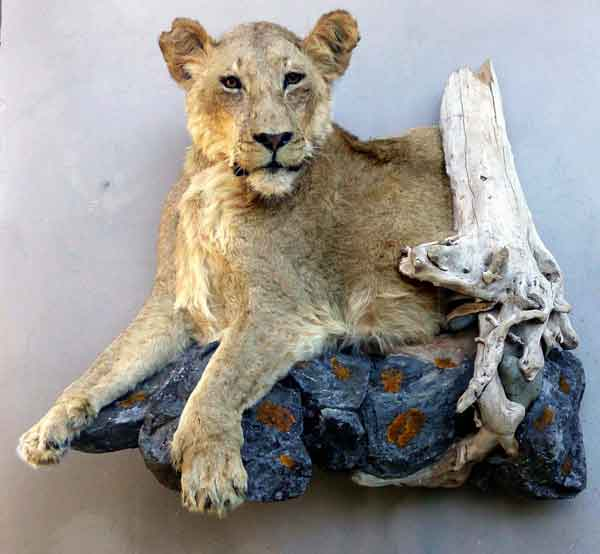 Lionne Taxidermie Bas-Relief