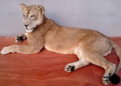 Lionne taxidermée couchée