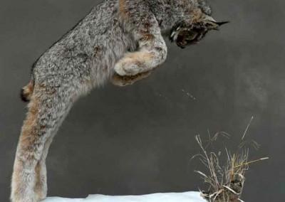 Lynx et levraut taxidermés