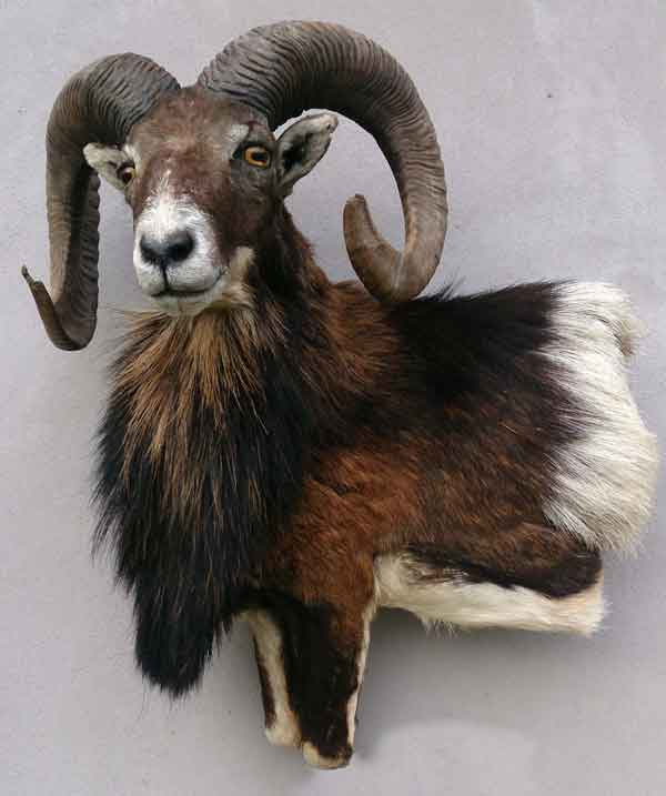 Mouflon  taxidermé à gauche en bas-relief