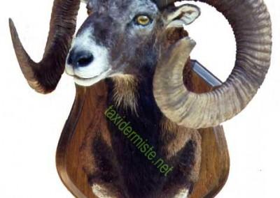 trophée mouflon taxidermé
