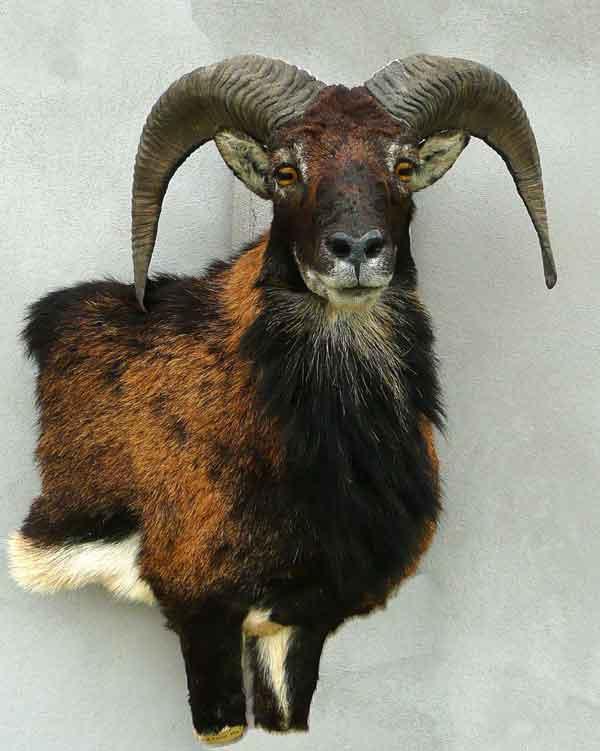 Mouflon taxidermé à droite en bas-relief