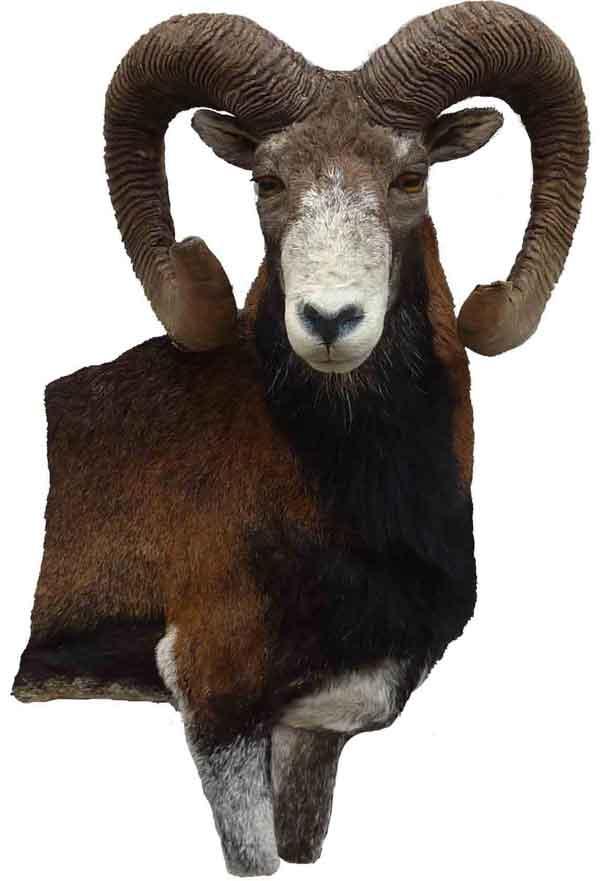 Mouflon taxidermé à droite en bas -relief