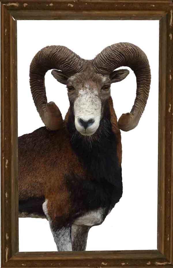 Mouflon taxidermé à droite en bas-relief +cadre