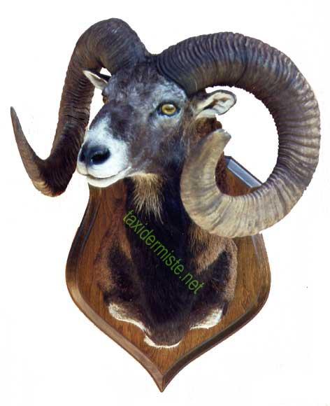 taxidermie mouflon