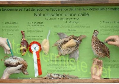 naturalisation_caille