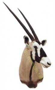 oryx Taxidermé