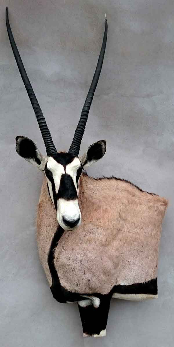 Oryx taxidermé à gauche en bas-relief