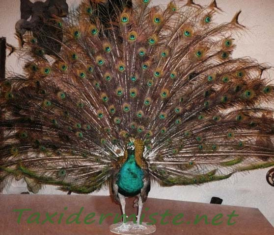taxidermie paon