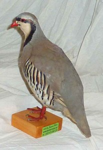 Perdrix chuka taxidermée