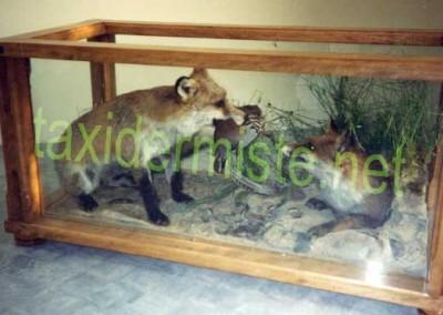 renard en table basse