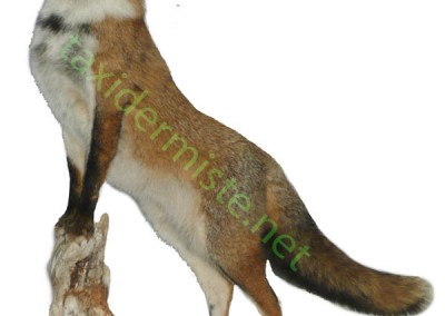 renard_dresse taxidermé