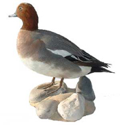 Taxidermie d'un canard siffleur vu de profil
