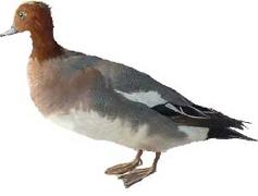 Mauvaise taxidermie de canard siffleur