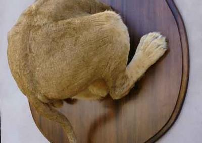 Ghyslain Bertholontroché-lion.2