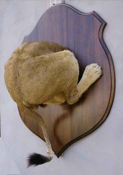 Cul de lion, taxidermé