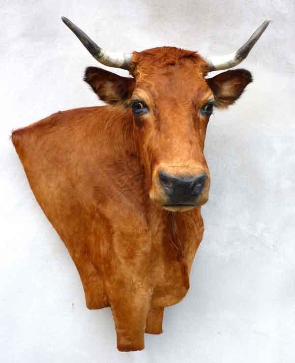 Vache taxidermée à droite en bas-relief