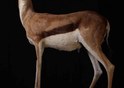 Springbock taxidermé
