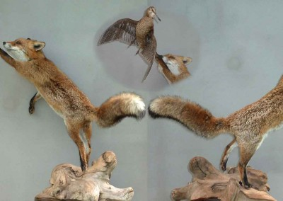 Renard bécasse taxidermés