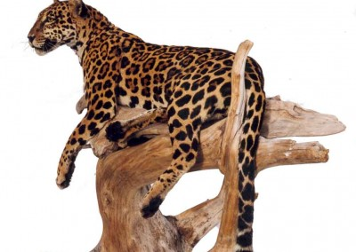 Jaguar-taxidermé