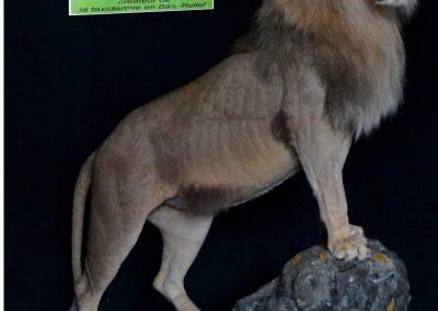 lion-t-afrique-du-sud