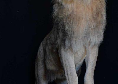 lion-T-Afrique du Sud-taxidermé