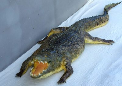 Crocodile taxidermé