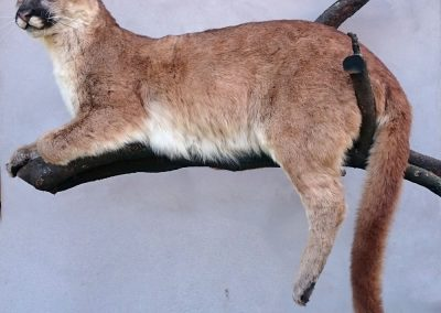 Puma-taxidermé-couché