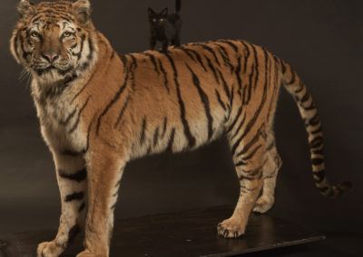 Tigre taxidermé et chaton