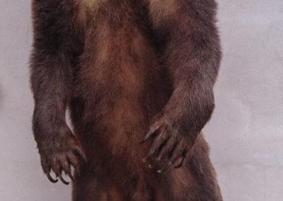 Grizzly taxidermé