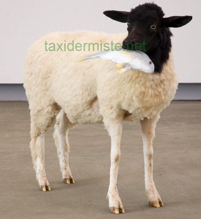 Taxidermie art Mouton dorper de Gavin Younge